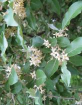 Elaeagnus umbellata Pointilla® \'Fortunella\'
