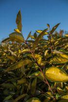 Elaeagnus x ebbengei \'Limelight\', arbuste persistant au feuillage panaché de jaune et à la floraison parfumé en automne