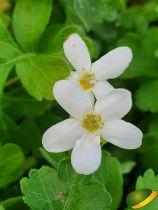 Ellisiophyllum pinnatum