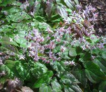 Epimedium \'Asiatic hybrid\'