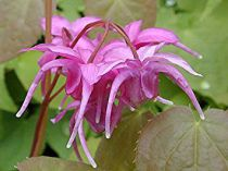Epimedium grandiflorum \'Rose Queen\'