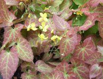 Epimedium pinnatum \'Colchicum\'