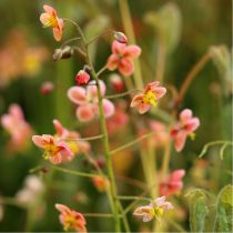 Epimedium pubigerum \'Orangekönigin\'