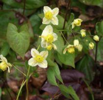 Epimedium versicolor \'Neo Sulphureum\'