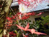 acer palmatum deshojo - printemps C
