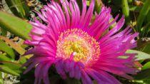 Erigeron glaucus Rose