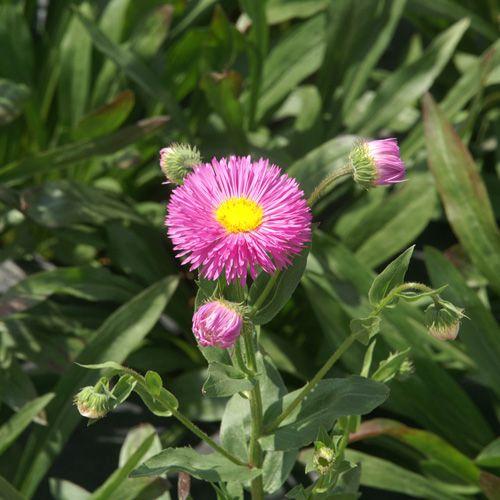 Erigeron speciosus \'Rosa Jewel\'