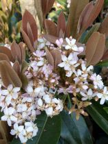 Eriobotrya* japonica \'Coppertone\'