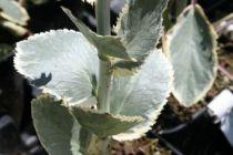 Eryngium planum \'Jade frost\'