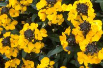 Erysimum \'Fragrant Sunshine\'