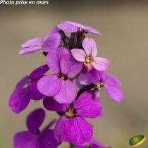Erysimum linifolium \'Bowles Mauve\'