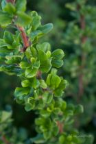 Escallonia illinata