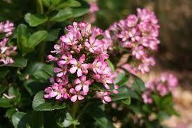 Escallonia laevis \'Pink Elle\'