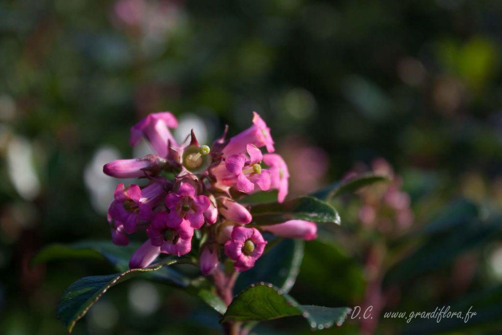 Escallonia organensis, arbuste persistant à feuillage vert et à floraison rose en été et en automne.