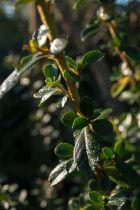 Escallonia rubra \'Crimson spire\', arbuste de haie aux feuilles vertes persistantes et à floraison rose en été.