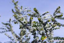 Eucalyptus pulverulenta \'Baby Blue\'