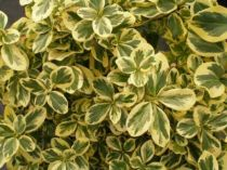 Euonymus fortunei \'Canadale Gold\'