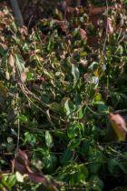 Euonymus fortunei \'Coloratus\'