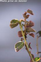Euonymus fortunei \'Emerald Gaiety\'