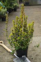 Euonymus fortunei \'Emerald\'n gold\', petit arbuste persistant au feuillage panaché vert et jaune