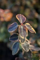 Euonymus fortunei \'Emerald\'n Gold\'