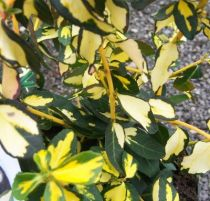 Euonymus fortunei Blondy® \'interbolwi\'