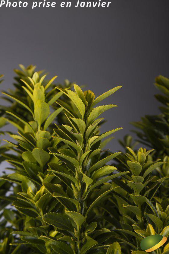 Euonymus jap. \'Microphyllus Aureovariegatus\'