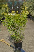 Euonymus japonicus \'Aureomarginatus\'