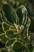 Euonymus japonicus \'Bravo\', arbuste persistant panaché blanc.