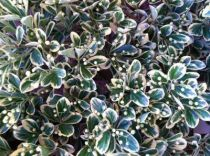 Euonymus japonicus \'Gray Beauty\'