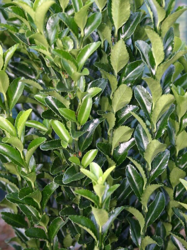 Euonymus japonicus \'Green Spider\'