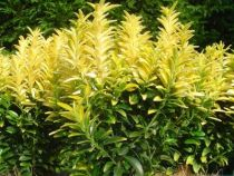 Euonymus japonicus \'Happiness\'
