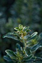 Euonymus japonicus \'Microphyllus Albovariegatus\'
