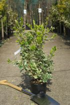 Euonymus japonicus \'President Gauthier\'
