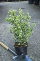 Euonymus japonicus \'Suzanne\'