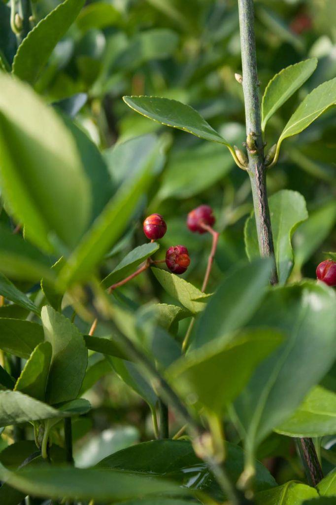 Euonymus japonicus, arbuste persistant vert à floraison crème et aux fruits orangés au printemps.