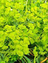Euphorbia \'Blue Haze\'
