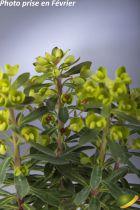 Euphorbia \'Charam\' (Redwing) ®