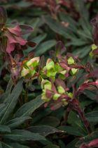 Euphorbia amygdaloides \' Purpurea \'