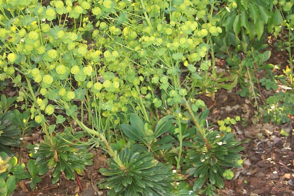 Euphorbia amygdaloides \'Robbiae\'