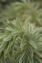 Euphorbia characias \' Emmer Green \'