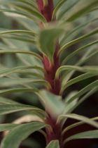 Euphorbia characias \' Silver Swan \'