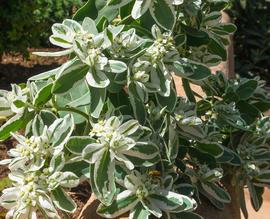 Euphorbia characias \'Glacier blue\' ®