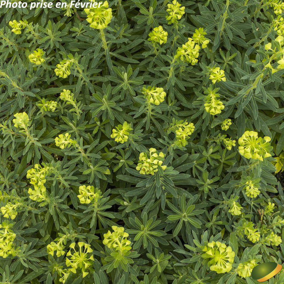 Euphorbia characias \'Humpty Dumpty\'