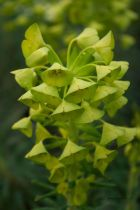 Euphorbia characias \'Purple and Gold \'