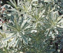 Euphorbia characias \'Silver Edge\'
