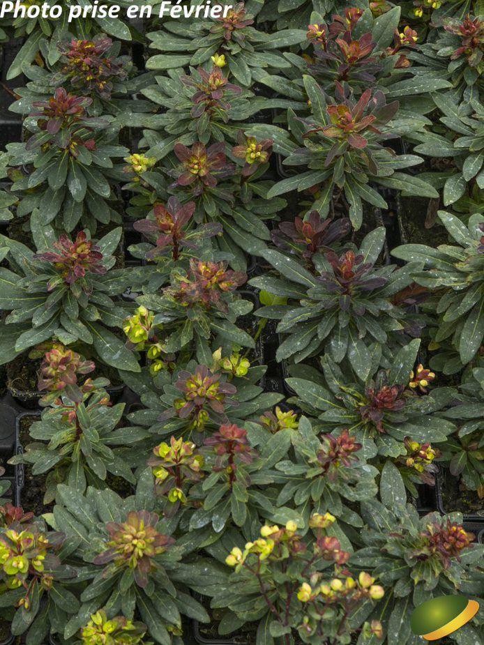 Euphorbia characias \'Velvet Ruby\'