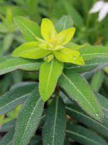 Euphorbia cornigera \'Goldener Turm\'