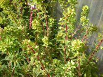 euphorbia martinii