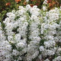 Exochorda racemosa \'Niagara\'